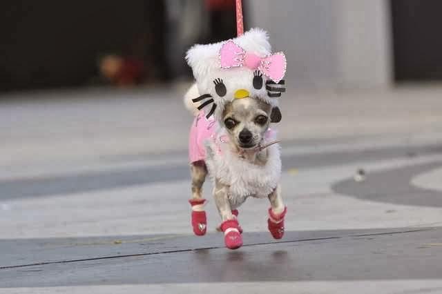 imagenes chistosas de perros chihuahua - Mira fotos de perros chihuahua graciosos YouTube