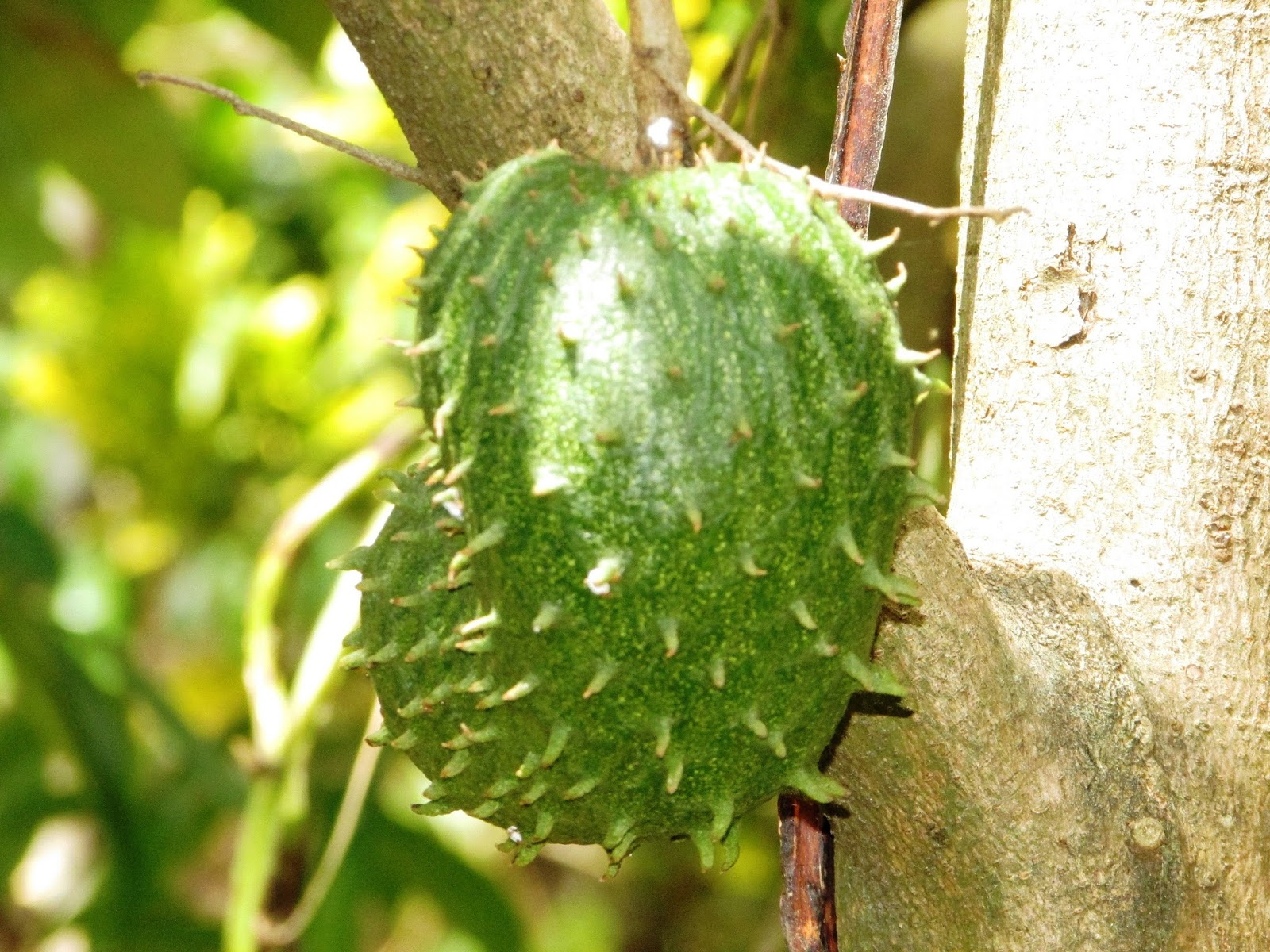 Sirsak, nangka belanda, atau durian belanda