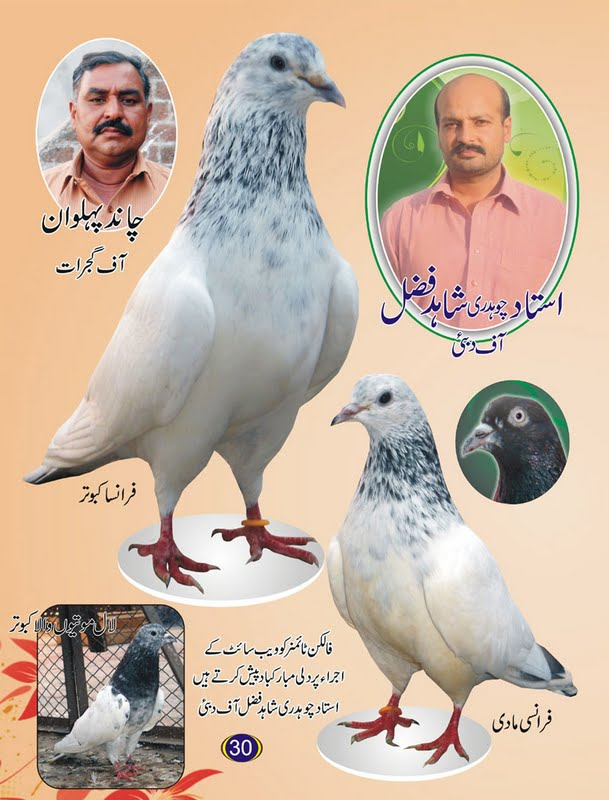 K Magazine Pigeon New Pigeons Magazine  Latest