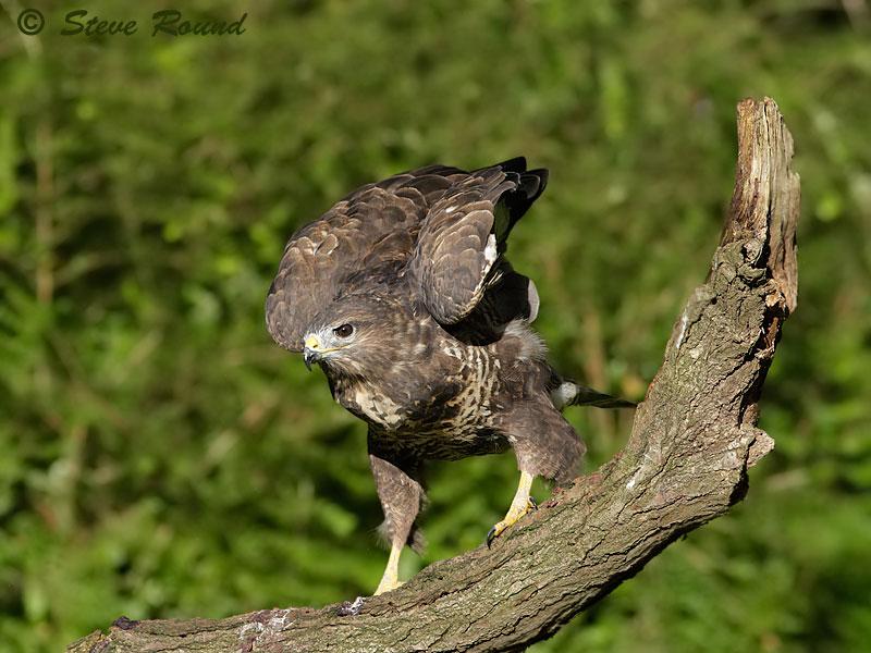 bird, nature, wildlife, Buteo buteo