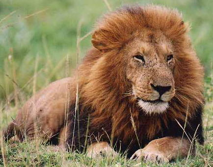 african lion. pictures of lions with a