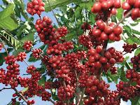 Café, Coffea arabica