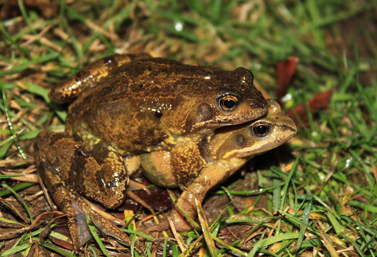 Frogs and toads information http ianloydwildlife blogspot com 2013