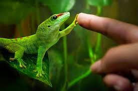 Gecko giving a 'hi 5' with its sticky toes