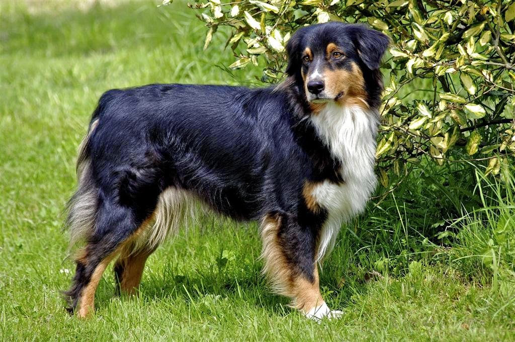 s 25 tricolor breeds