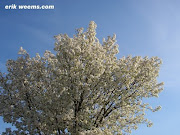 Foto: White tree blossoms, Chesterfield Virginia