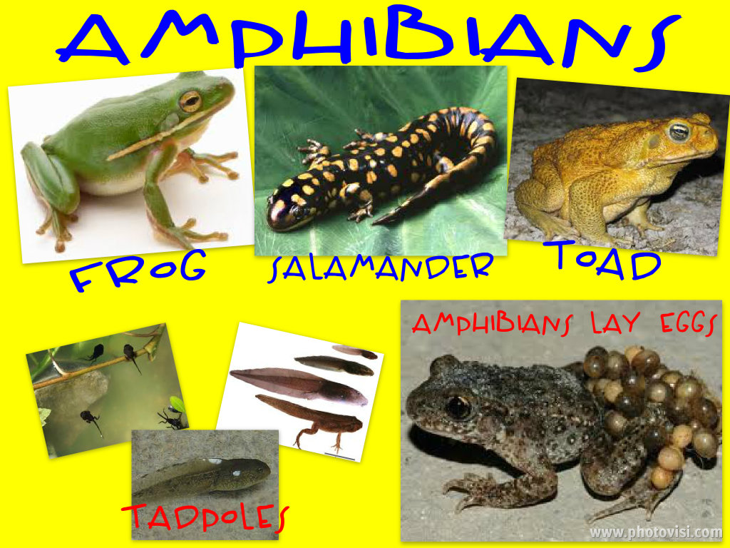 Pyrite Club   Images: Examples Of Amphibians