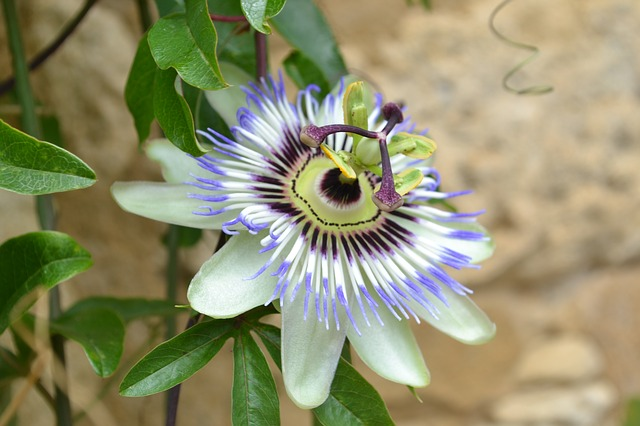 Passion Flowers