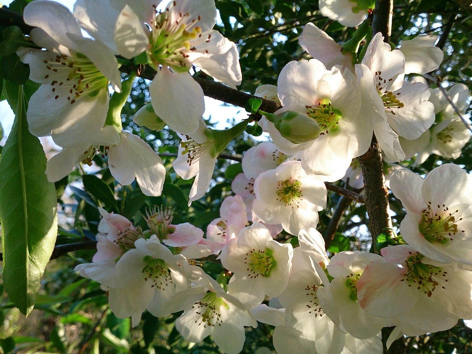 白い木瓜の花