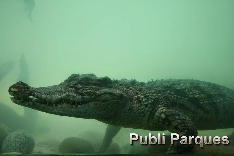 cocodrilo de Siam