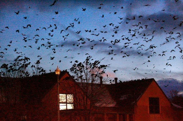 Plague of 60,000 CROWS descends on Ohio city