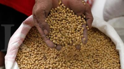 Kacang Kedelai Asli Indonesia