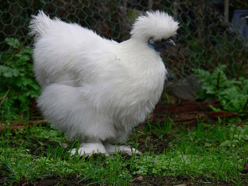 chicken breeds images. The Back Yard Hen