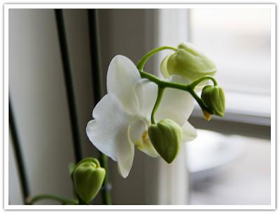 Orkidé på g