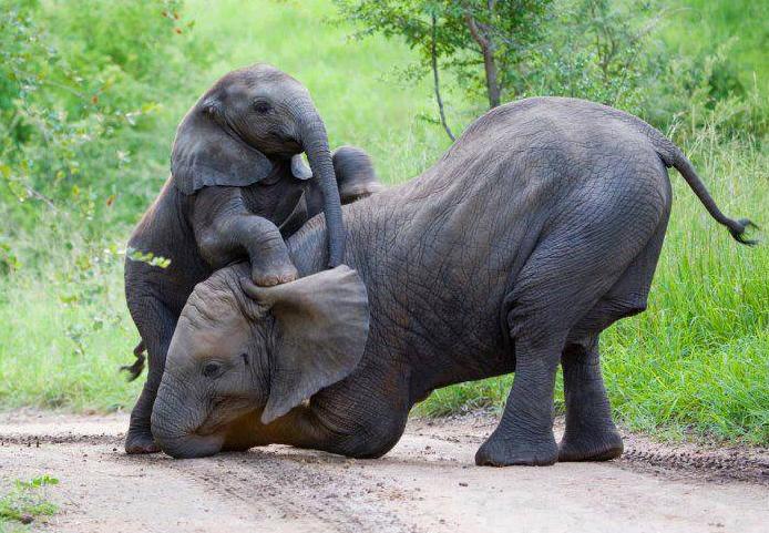 air mani gajah, gajah power, penarik aura, pemanis,pelaris, batu cincin air mani gajah