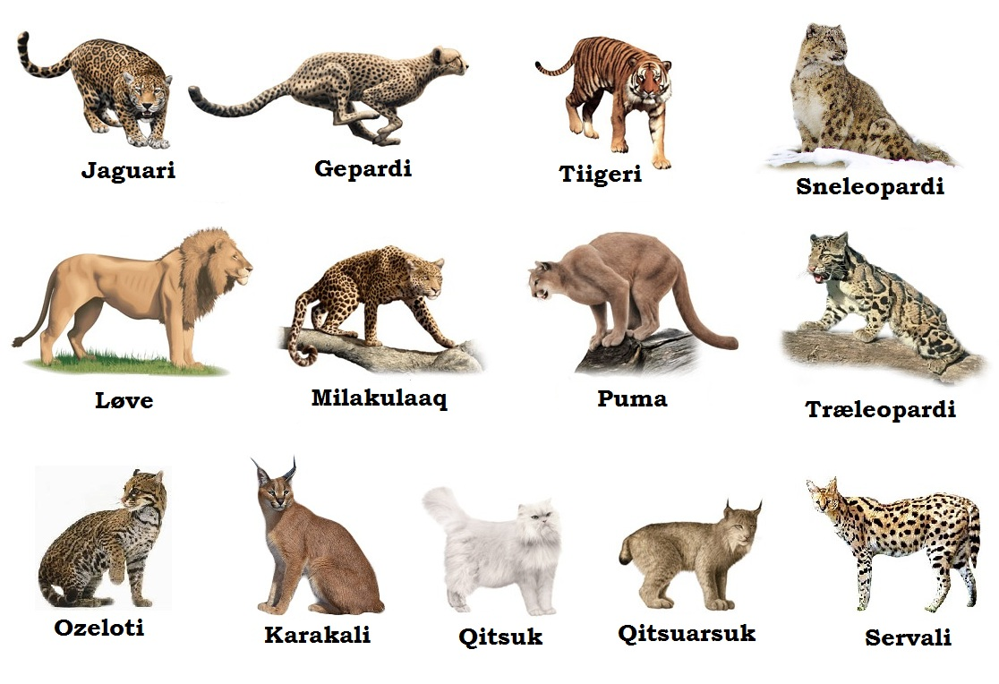 a description of the cat family felidae order carnivora Physical description all felids bear a strong resemblance to one another the cats (family felidae order carnivora) (on-line) the cats.