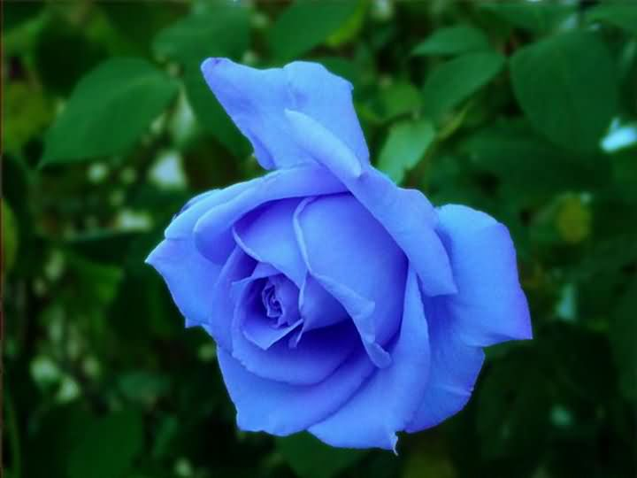 Blue Rose Flowers Blue...