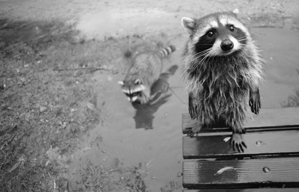 Funny animals of the week - 7 February 2014 (40 pics), raccoon black and white photo