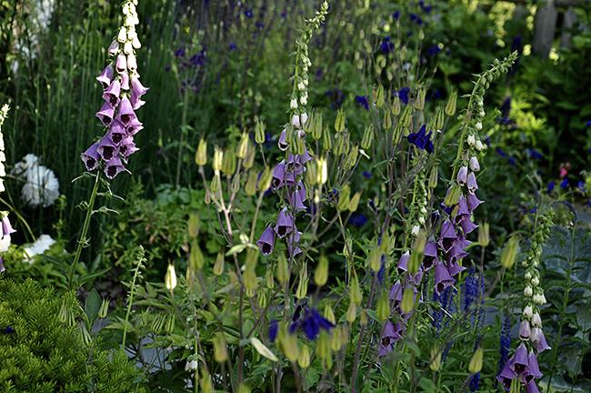 Raising Foxglove 'Sugar Plum' in the garden