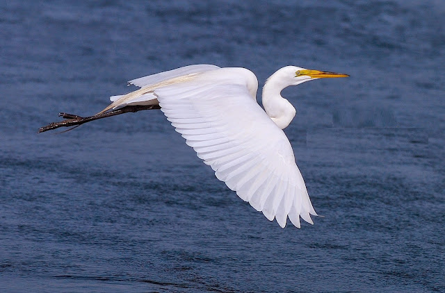Beautiful Cattle Egret Flying Wallpaper