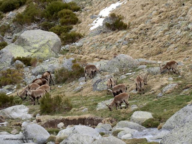 Cabras montesas en Sierra de Gredos