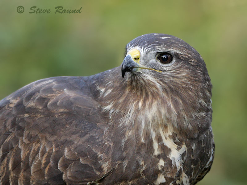 buzzard, common, bird, bird of prey, raptor, nature, wildlife