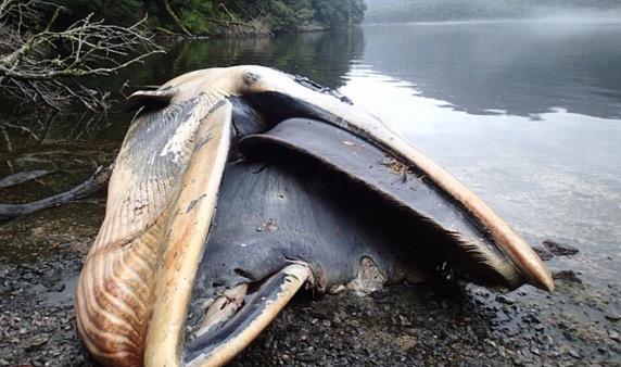 Misteri lebih 300 paus ditemui terdampar di Chile