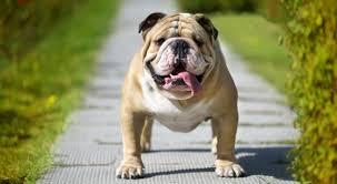 cães braquicefálicas