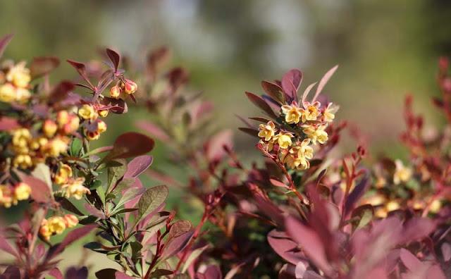 Berberis Thunbergii Flowers Pictures