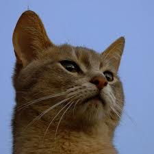 abyssinian cat breed