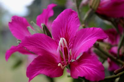 Pata de vaca ou árvore orquídea (Bauhinia variegata L.)