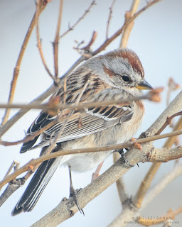American Tree Sparrow, Regina, SK. photo © Shelley Banks, all rights reserved.