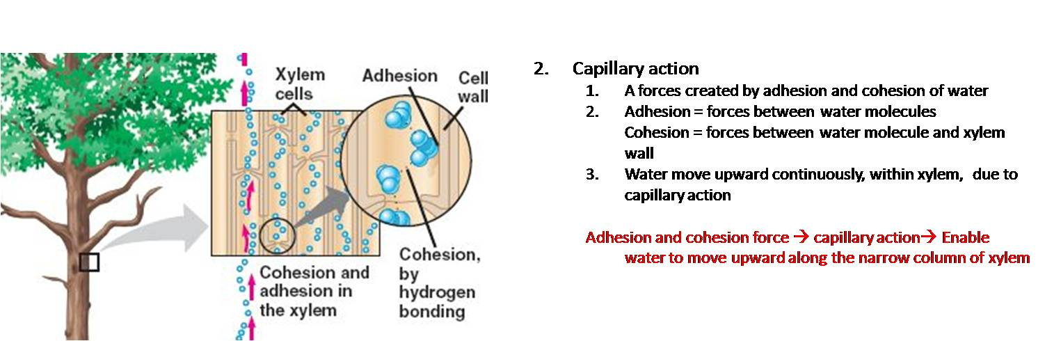 cell wall and water What does a high concentration of salt do to a cell if a higher concentration of salt is placed outside of the cell membrane, the water will leave the cell to.
