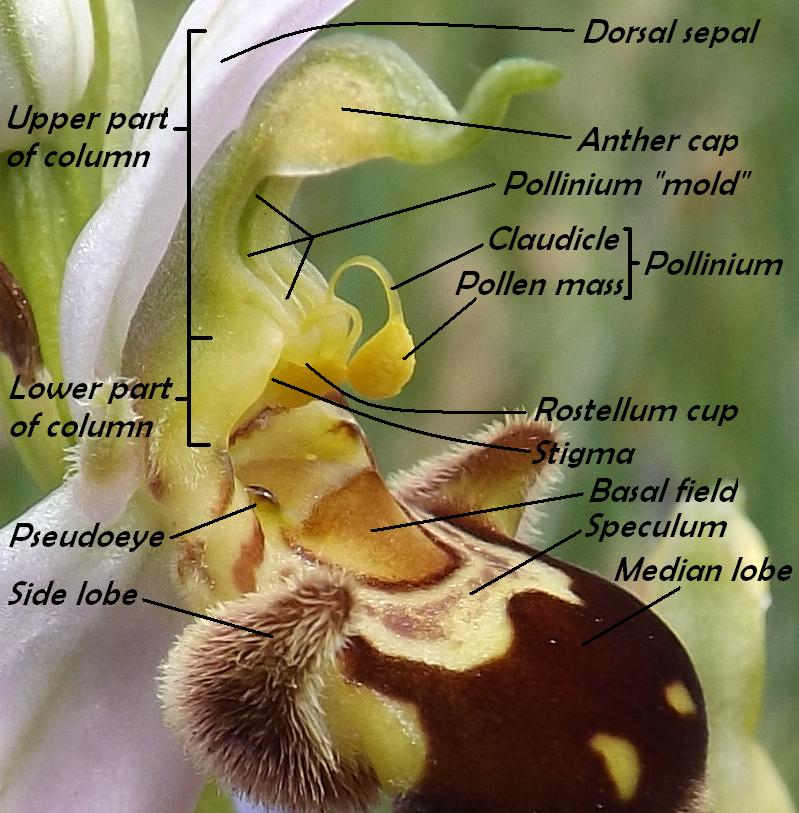Wild Nature of the Cantabrian Mountains (Spain): The Orchid Archive