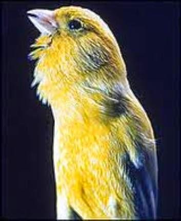 Gambar Cara Merawat Burung Kenari