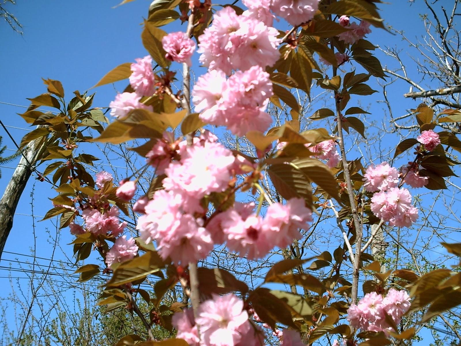 Casa si gradina arbusti ornamentali si fructiferi for Arbusti ornamentali
