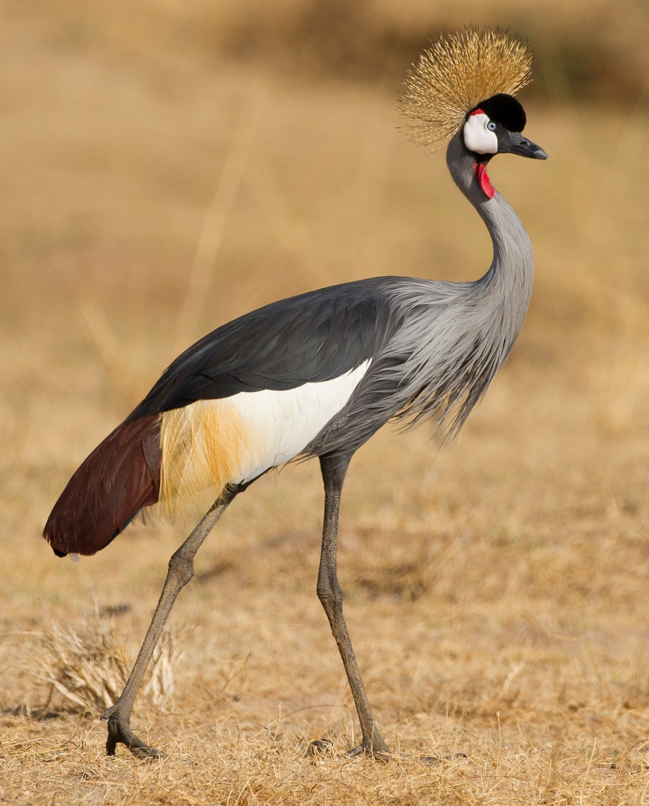 Crowned crane african bird facts pictures beauty of bird for The crain