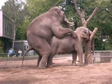 Elefante having sex mating