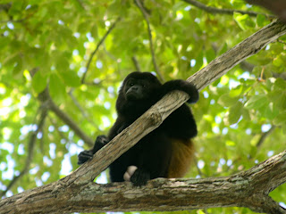 Adult male mantled howler monkey at Aqua Resort. Photo: AR Kirwin