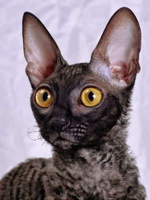 10 Interesting Facts about Cornish Rex Cats