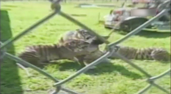 Tigres atacando a su entrenador