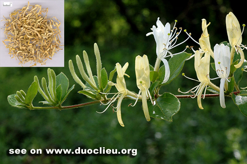 Lonicera japonica Thunb. L