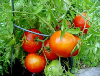 menanam tomat dalam pot dan polybag