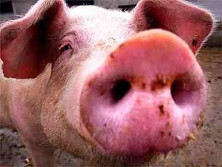 Açougueiro alimenta porcos com maconha e cria carne e bacon de sucesso