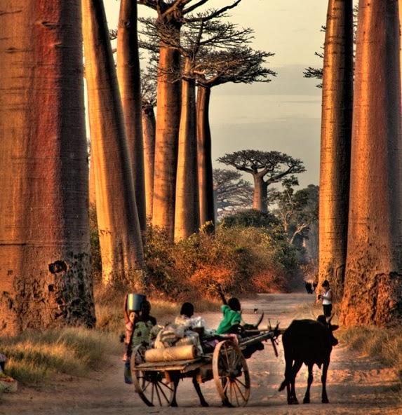 Baobabs in Madagascar.