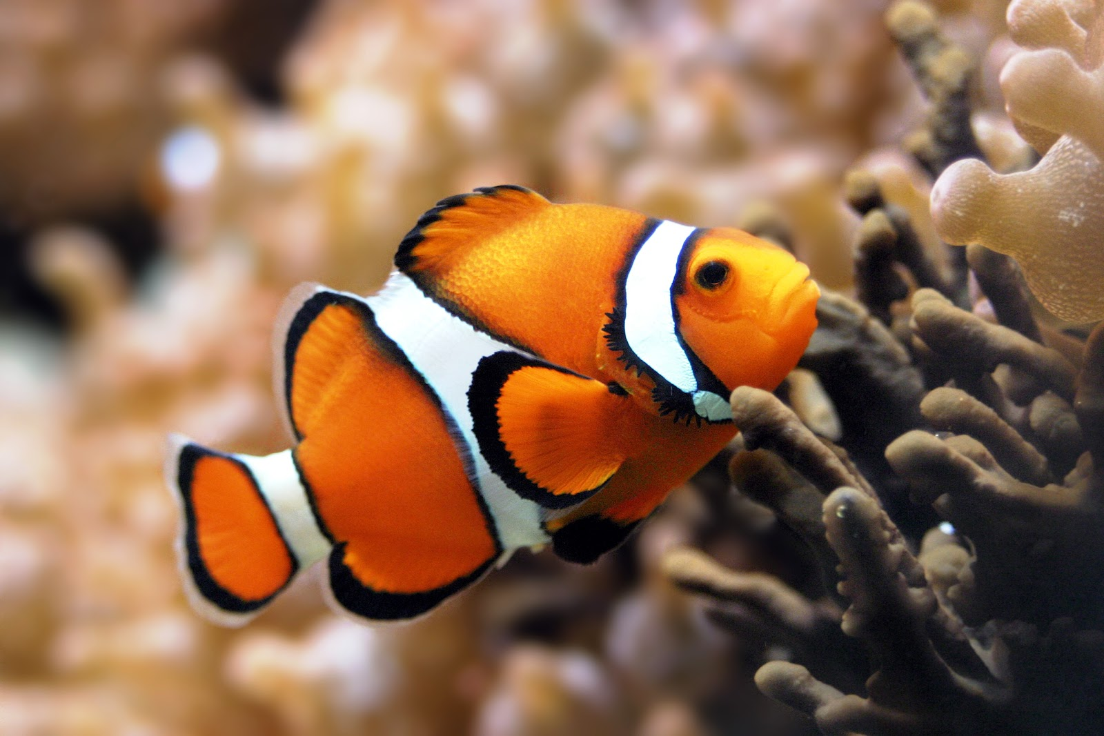 Can you get freshwater fish that look like clown fish