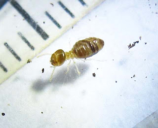 Minor worker of Bulbitermes termite