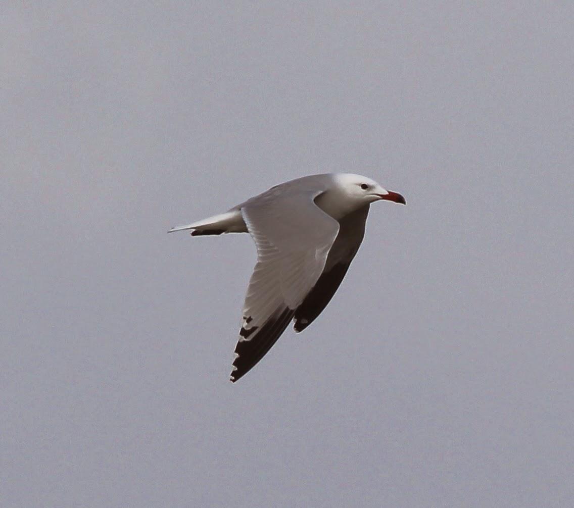 timbobagginsabroad, birds, travel, rare bird,