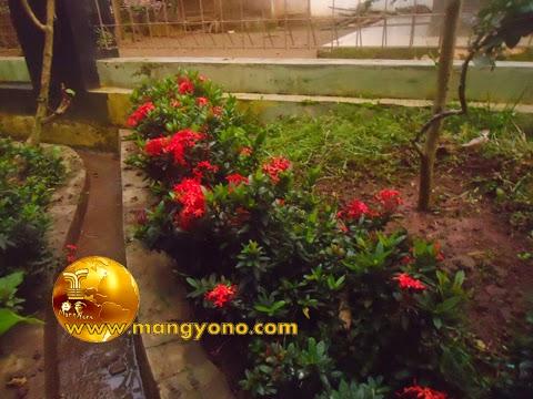 FOTO : Bunga soka di depan rumah saya, ssebagai penahan tanah dan pembatas tanaman.