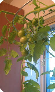 tomatoplant